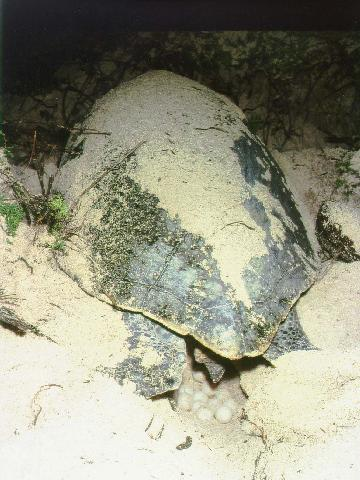 Green turtle nesting at X'cacel